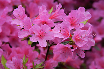Photograph - Japanese Azalea Coral Bells by Jenny Rainbow