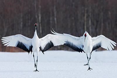 Photograph - Japanese Cranes Standing Upright by Mint Images - Art Wolfe