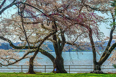 Photograph - Japanese Flowering Cherry Trees by Thomas R Fletcher