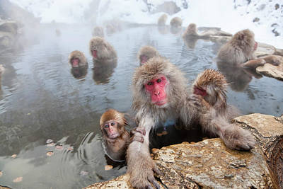 Animal Family Photograph - Japanese Macaque Snow Monkeys In Hot by Peter Adams