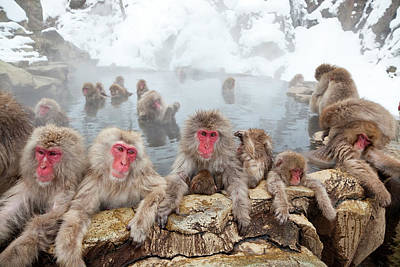 Animal Family Photograph - Japanese Macaques Or Snow Monkeys, Japan by Peter Adams