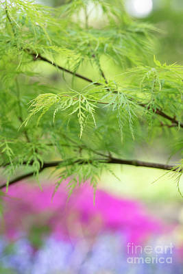 Photograph - Japanese Maple Emerald Lace by Tim Gainey