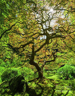 Royalty-Free and Rights-Managed Images - Japanese Maple Tree Panorama  by Michael Ver Sprill