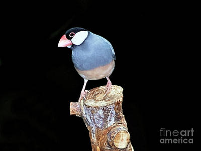 Photograph - Java Sparrow by Elaine Manley