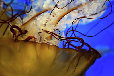 Photograph - Jellyfish Closeup by Jeanette Fellows