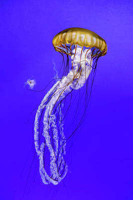 Photograph - Jellyfish by Wes and Dotty Weber