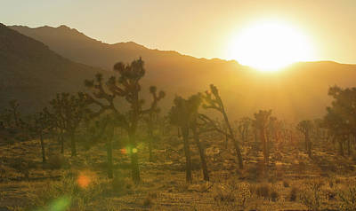 Photograph - Joshua Tree At Sunset by Amanda Rimmer