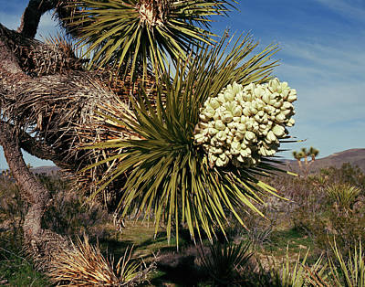 Photograph - Joshua Tree Flower by Tom Daniel