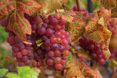 Photograph - Juicy Taste Of Autumn. Red Grapes Clusters 1 by Jenny Rainbow