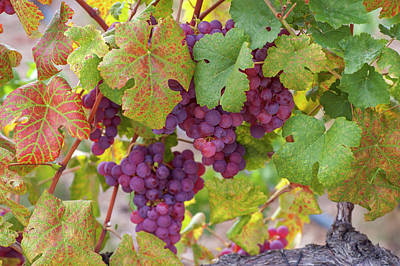 Photograph - Juicy Taste Of Autumn. Red Grapes Clusters 10 by Jenny Rainbow