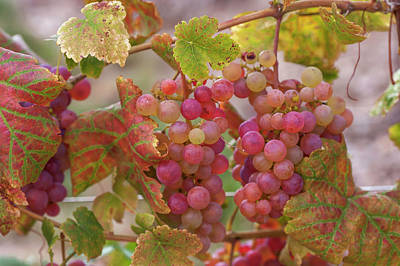 Photograph - Juicy Taste Of Autumn. Red Grapes Clusters 11 by Jenny Rainbow