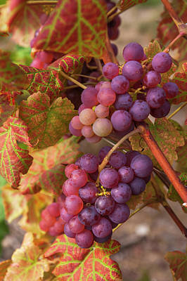 Photograph - Juicy Taste Of Autumn. Red Grapes Clusters 3 by Jenny Rainbow