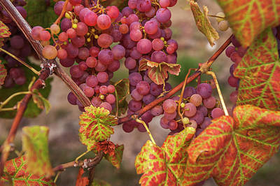 Photograph - Juicy Taste Of Autumn. Red Grapes Clusters 4 by Jenny Rainbow