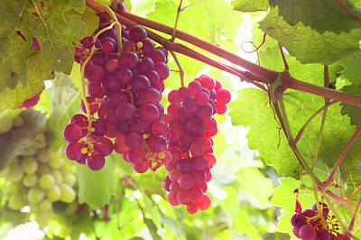 Photograph - Juicy Taste Of Autumn. Red Grapes Clusters 6 by Jenny Rainbow