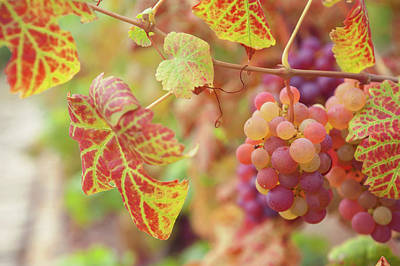 Photograph - Juicy Taste Of Autumn. Red Grapes Clusters 8 by Jenny Rainbow