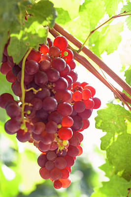 Photograph - Juicy Taste Of Autumn. Red Grapes Clusters 9 by Jenny Rainbow