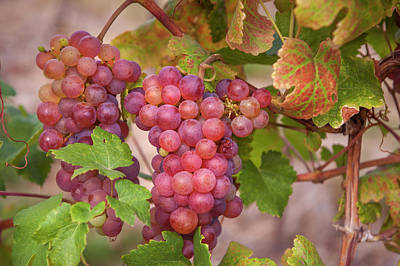 Photograph - Juicy Taste Of Autumn. Red Grapes Clusters by Jenny Rainbow