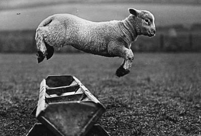 Jumping Lamb Art Print by Fox Photos
