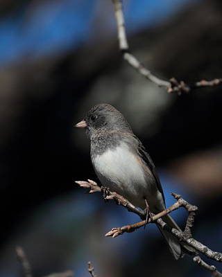 Photograph - Junco 6487 by John Moyer