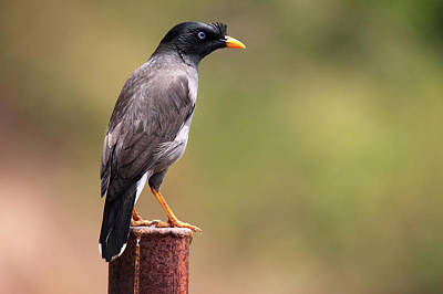 Kerala Photograph - Jungle Mynah by Shahin Olakara Photography