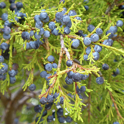 Photograph - Juniper Berries by Cris Fulton