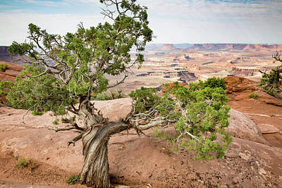 Photograph - Juniper Over The Canyon by Kyle Lee
