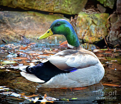 Photograph - Just Ducky - Male Mallard Duck by Kerri Farley