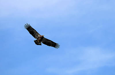 Photograph - Juvenile Bald Eagle by Debbie Oppermann