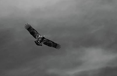 Photograph - Juvenile Bald Eagle I by Debbie Oppermann
