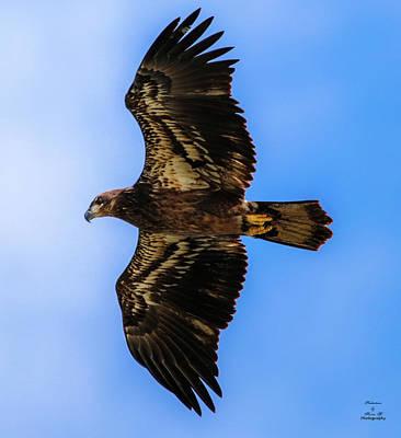 Photograph - Juvenile Bald Eagle  by Kevin Banker