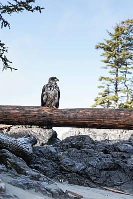 Eagle Photograph - Juvenile Bald Eagle Perching On Beached by Steven Errico
