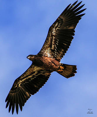 Photograph - Juvenile Bald Eagle Soars by Kevin Banker
