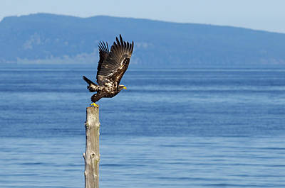 Photograph - Juvenile Bald Eagle Taking Flight by Sharon Talson