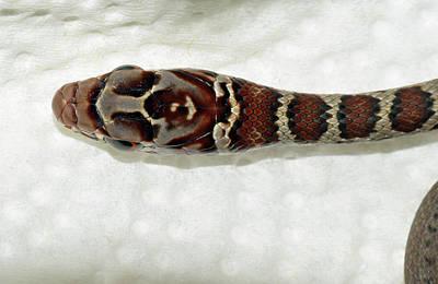 Photograph - Juvenile Black Racer Snake by Larah McElroy