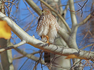 Juvenile Wall Art - Photograph - Juvenile Coopers Hawk by Gary Wing