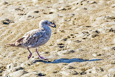 Photograph - Juvenile Herring Gull by Kate Brown
