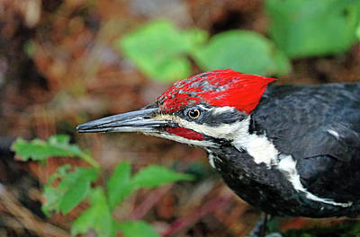 Photograph - Juvenile Male Pileated Woodpecker by Debbie Oppermann