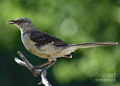 Animals Royalty-Free and Rights-Managed Images - Juvenile Northern Mockingbird Posing by Cindy Treger