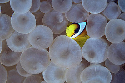 Photograph - Juvenile Red Sea Clownfish Amphiprion by Luis Javier Sandoval