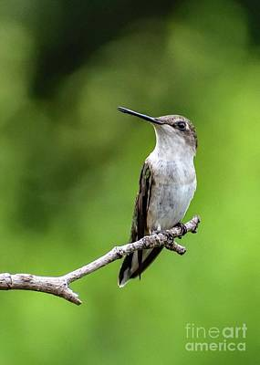 From The Kitchen - Juvenile Ruby-throated Hummingbird Looking Pensive by Cindy Treger