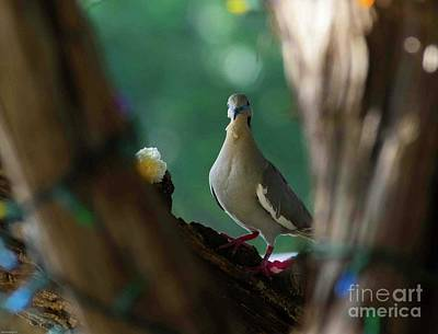 Animals Royalty-Free and Rights-Managed Images - Juvenile White Winged Dove by Bob Marquis
