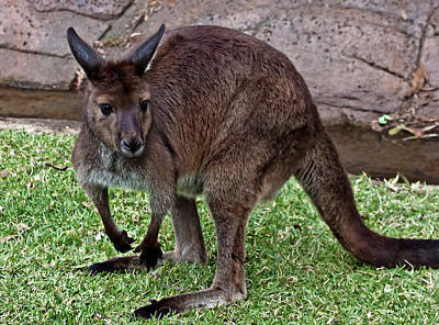 Photograph - Kangaroo Island Kangaroo by Miroslava Jurcik