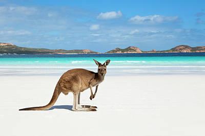 Photograph - Kangaroo On Beach by Andrew Watson