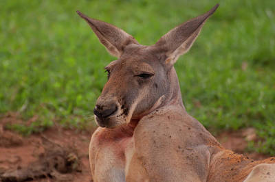 Photograph - Kangaroo Portrait Front by Chris Flees