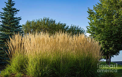 Photograph - Karl Foerster Grass by Jon Burch Photography