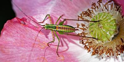 Photograph - Pretty In Pink - Katydid Nymph by KJ Swan