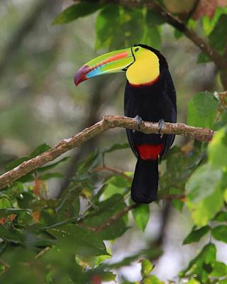 On Trend At The Pool - Keel-billed Toucan Costa Rica by Marlin and Laura Hum