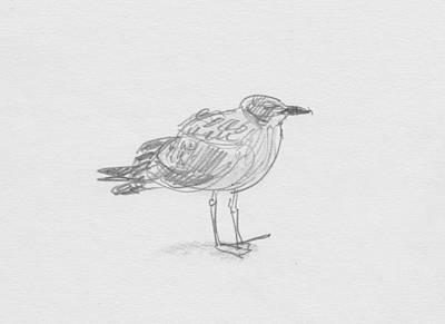 Drawing - Kelp Gull by Abby McBride