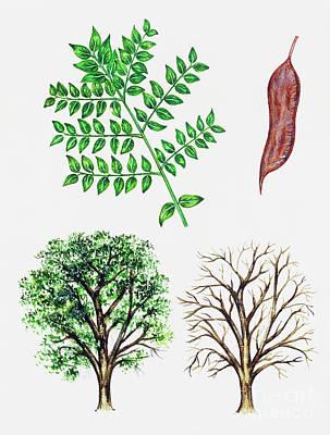 Painting - Kentucky Coffee Tree by Italian School