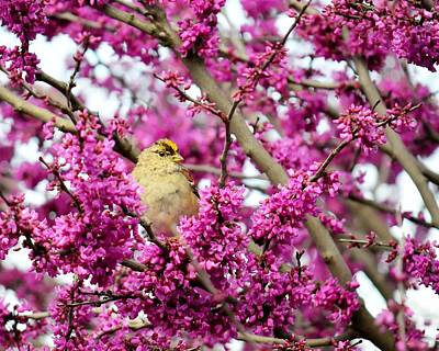 Photograph - King Of The Redbud - Golden-crowned Sparrow by KJ Swan